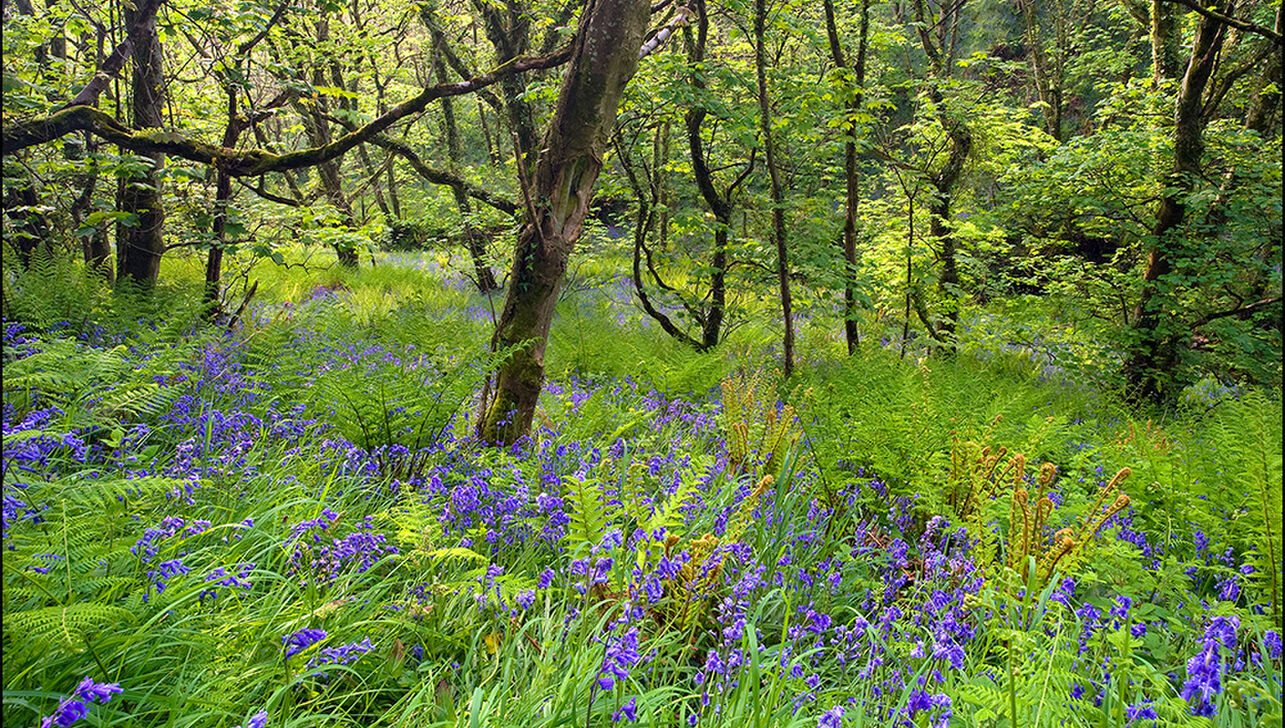 Bluebells in the woods at River Valley